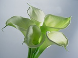 Four Arum Lilies, 1999 Photographic Print by Norman Hollands