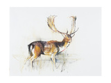 Study of a Stag Giclee Print by Mark Adlington