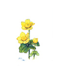 Marsh Marigold, 1998 Giclee Print by Nell Hill