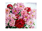 Red and Pink Roses, 2008 Giclee Print by Christopher Ryland