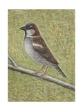 House Sparrow, 2008 Giclee Print by Ruth Addinall
