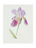 Bearded Iris, C.1980 Giclee Print by Brenda Moore