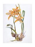 Orchid Cymbidium Pearlite, C.1980 Giclee Print by Brenda Moore