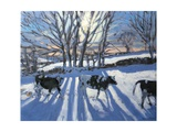 Friesian Cows, 2009 Giclee Print by Andrew Macara