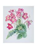 Streptocarpus, C.1985 Giclee Print by Brenda Moore