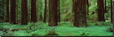 Redwoods, Rolph Grove Stretched Canvas Print by Alain Thomas