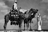 Camels in Egypt Poster Prints