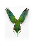 Baraband Parakeet Fotografisk trykk av Christopher Marley