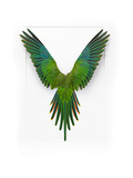 Baraband Parakeet Stampa fotografica di Christopher Marley