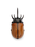 Thai Rhino Beetle Photographic Print by Christopher Marley