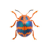 Leaf Beetle Photographic Print by Christopher Marley
