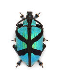 X Weevil Photographic Print by Christopher Marley