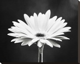 Daisy Stretched Canvas Print by Carolyn Cochrane