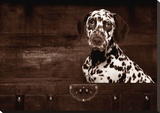 Dalmatian Dog Stretched Canvas Print by Maja Hrnjak