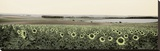 Andalusian Sun Flowers Stretched Canvas Print by Alan Blaustein