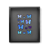 Cerulean Butterflies on Graphite Photographic Print by Christopher Marley