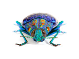 Gemma Woodboring Beetle Photographic Print by Christopher Marley