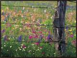 Fence Post and Wildflowers, Lytle, Texas, USA Framed Canvas Print by Darrell Gulin
