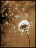Dandelion Seed Blowing Away Framed Canvas Print by Terry Why