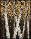 Shimmering Birches 1 Framed Canvas Print by Arnie Fisk