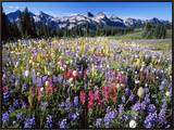 Wildflower Meadow and Tatoosh Range Framed Canvas Print by Craig Tuttle
