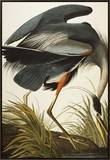 Great Blue Heron (Ardea Herodias), Plate Ccxi, from 'The Birds of America' Framed Canvas Print by John James Audubon