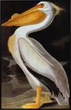 Audubon: Pelican Framed Canvas Print by John James Audubon