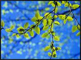 Spring Leaves, Irving Nature Park, Saint John, New Brunswick, Canada Framed Canvas Print by  Barrett & Mackay