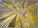 Quaking Aspen Grove in Fall, Colorado Framed Canvas Print by John Eastcott & Yva Momatiuk