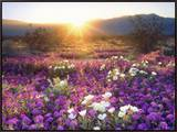 Sand Verbena and Dune Primrose Wildflowers at Sunset, Anza-Borrego Desert State Park, California Framed Canvas Print by Christopher Talbot Frank