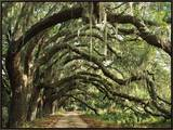 Ancient Live Oak Trees in Georgia Framed Canvas Print by Maria Stenzel