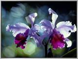 Orchids Framed Canvas Print by Medford Taylor