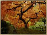 Maple Tree in Autumn Framed Canvas Print by John McAnulty