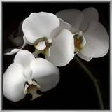 White Phalaenopsis Orchids Framed Canvas Print by Michael Freeman