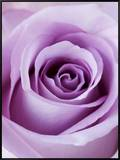 Light Purple Rose Framed Canvas Print by Clive Nichols
