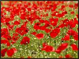 A Field of Poppies Framed Canvas Print by Richard Nowitz
