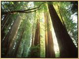 Redwood Forest Framed Canvas Print by Jim Zuckerman