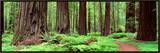 Trail, Avenue of the Giants, Founders Grove, California, USA Framed Canvas Print by  Panoramic Images