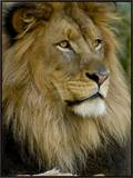 Portrait of a Resting Male African Lion, Panthera Leo Framed Canvas Print by Paul Sutherland
