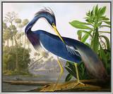 "Louisiana Heron from ""Birds of America"" Framed Canvas Print by John James Audubon"