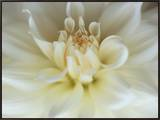 White Dahlia Close-up Framed Canvas Print by Janell Davidson
