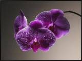 Water Drops on Orchids Framed Canvas Print