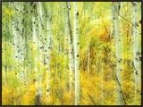 Aspens in Fall, Kebler Pass, Colorado, USA Framed Canvas Print by Darrell Gulin