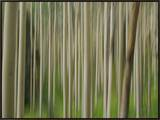 Soft Focus View of an Aspen Tree Forest Framed Canvas Print by Raul Touzon