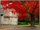 Tree with Red Leaves and Barn Framed Canvas Print by Mark Karrass