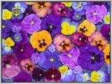 Pansy Flowers Floating in Bird Bath with Dew Drops, Sammamish, Washington, USA Framed Canvas Print by Darrell Gulin