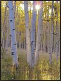 American Aspen Trees in Autumn Color Framed Canvas Print by  Greg