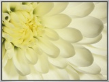 Close-Up of a White Chrysanthemum Flower Framed Canvas Print by Adam Jones
