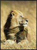 Male African Lion, Panthera Leo, Resting in Savanna Grasses, Masai Mara Game Reserve, Kenya, Africa Framed Canvas Print by Joe McDonald