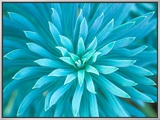 Euphorbia, Roche Harbor, Washington, USA 額入りキャンバスプリント : ロブ・ティリー
